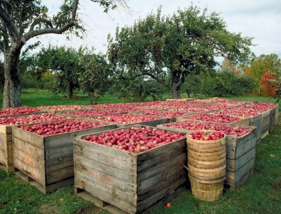 Cider Apples ready for processing