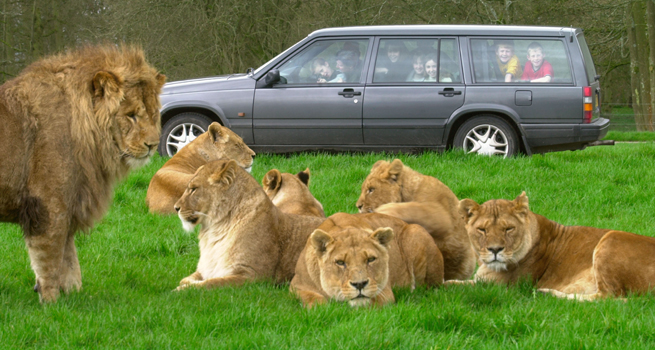 The drive-through at Longleat. Lions close-up