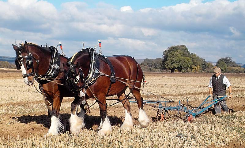 Shire Horse pulling a plough