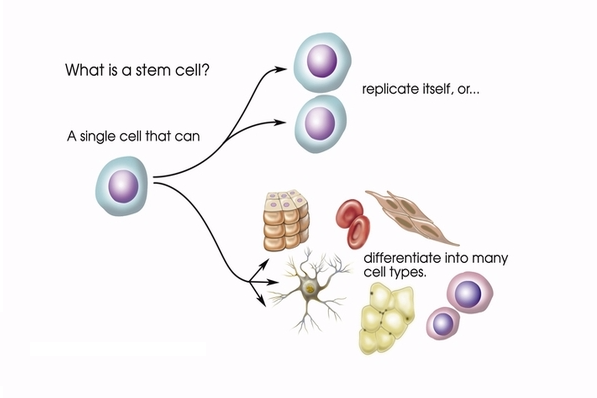 Diagram showing how stem cells are used.